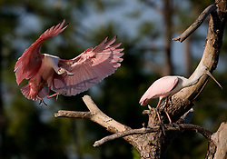 A Roseate spoonbill (Ajaia ajaja) lands in a tree next to another spoonbill in the Gatorland alligator breeding marsh and bird sanctuary near Orlando, Florida. The bird sanctuary is the largest and most easily accessible wild wading bird rookery in east central Florida.