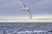 Snow petrel over sea ice in the Erebus and Terror Gulf near Cape Green, Antarctica.