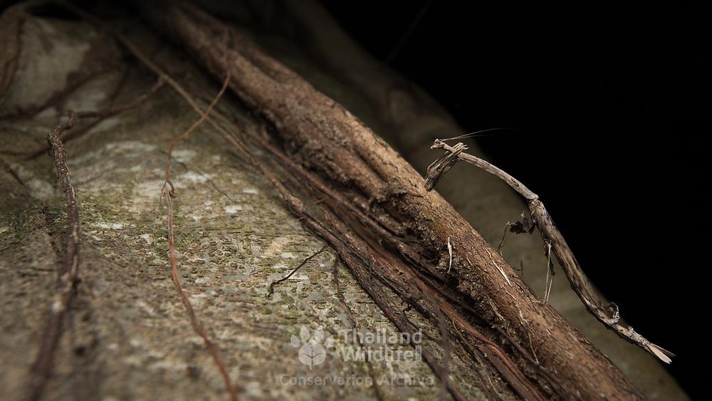 Spotted Stick Mantis (Toxodera maculata) in Kaeng Krachan national park, Thailand