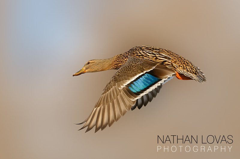 Female Mallard duck in flight;  MInnesota.