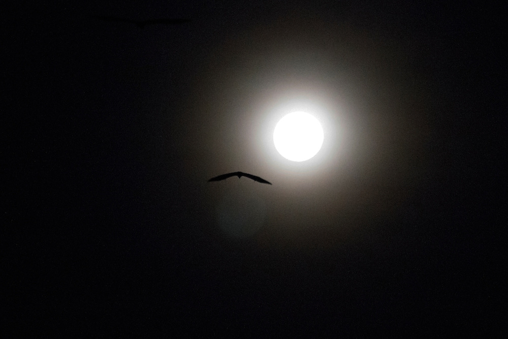 On the night of the full moon, a fruit bat flies toward its feeding ground, Pine Creek, Northern Territory, Australia.