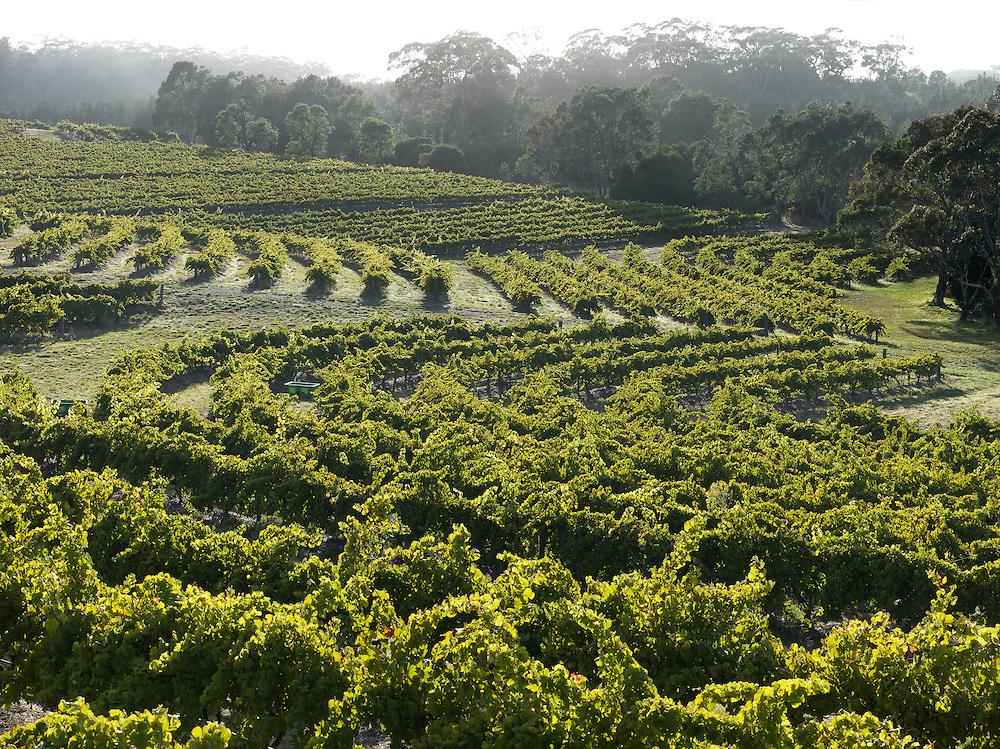 Pewsey Vale vineyard