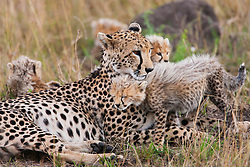 A female cheetah ( Acinonyx jubatus ) and her cubs resting in the savannah grass, Masai Mara, Kenya