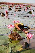 Red lotuses at Nong Han lake, Udon Thani