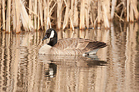 A Canadian Goose rests on an early morning in April on a pond in northern Utah.