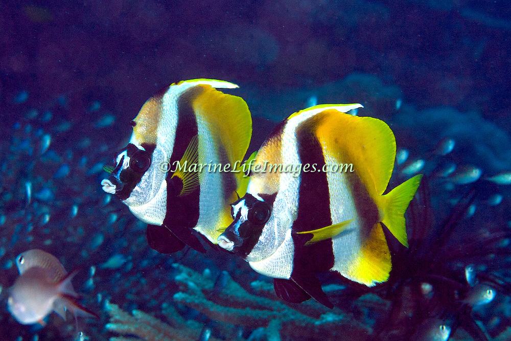 Masked Bannerfish inhabit reefs. Picture taken Fij.