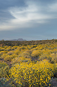 Evening over the Sonoran Desert and Superstition Mountains Arizona, yellow Brittlebush (Encelia farinosa) blooming in the foreground.