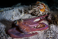 An octopus appears to model for the camera as it stretches out while hunting on a coral reef. Photographed as it pulsated between red and blue, and changed texture.  Photographed at night at Sunset House near the Nicholson shipwreck.