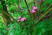 Ginger flower, Hawaii Tropical Botanical Garden, Hilo, Hamakua Coast, Big Island of Hawaii