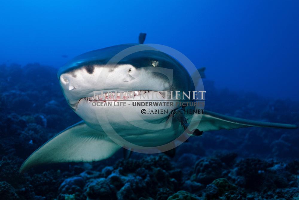 Sharptooth Lemon Shark (Negaprion acutidens) Tahiti / Requin limon faucille (Negaprion acutidens) Tahiti Polynésie française