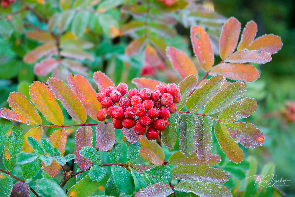 Frost on Sitka Mountain Ash berries (Sorbus sitchensis), Mount Rainier National Park, Washington USA