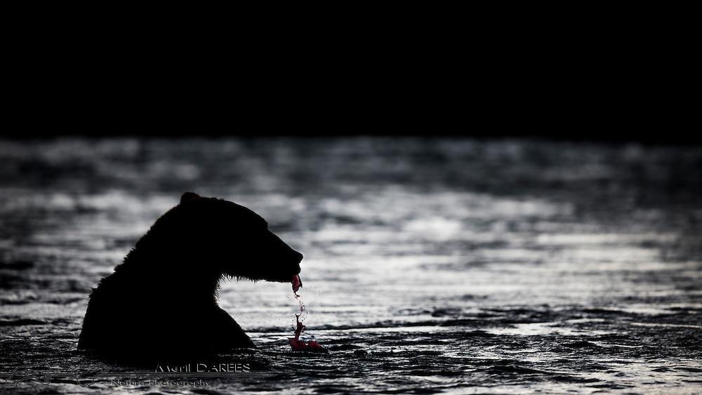 Grizzly bear snapping a salmon open. Katmai National Park, Alaska, USA.