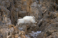 Jumping  Mountain Goat, Kid, Snake River Range,  Alpine, Wyoming