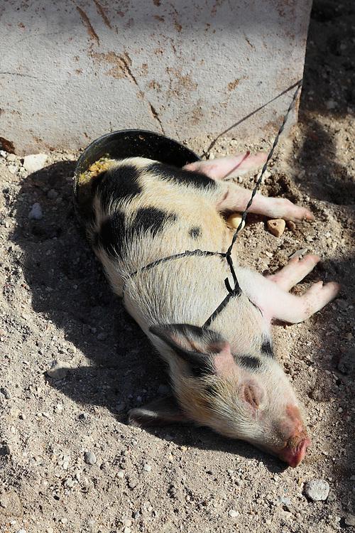 Young pig in Caletones, Holguin, Cuba.