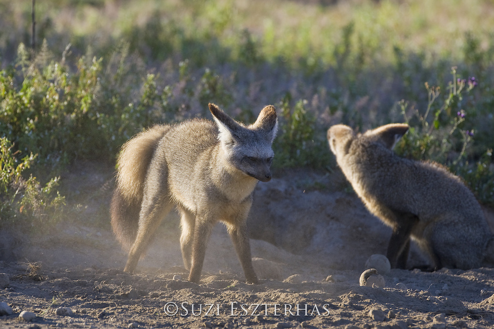 Bat-eared fox<br /> Otocyon megalotis<br /> Shaking off dust after foraging for insects<br /> Ngorongoro Conservation Area, Tanzania