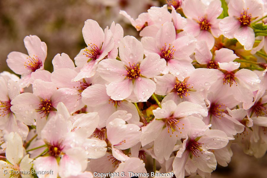 The cherry blossoms covered the ends of branches in a thick array.