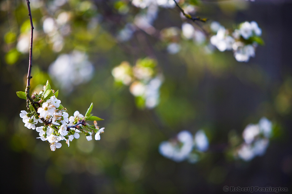 White blossoms hang wistfully in  a Spring garden.
