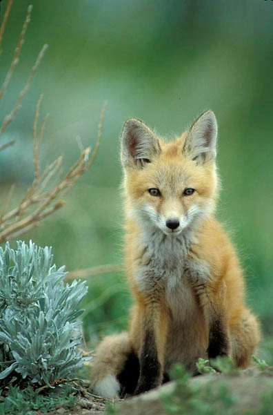 Red Fox, (Vulpus fulva) Portrait of pup near den. Spring.