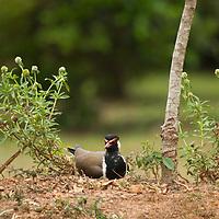 Red-wattled Lapwing (Vanellus indicus) incubating eggs on nest, Diyasaru Park, Colombo, Sri Lanka