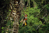 Researcher Cheryl Knott climbs a rope into a giant canopy tree with stranger fig tree roots growing down its side.  Gunung Palung National Park, Borneo, Indonesia.