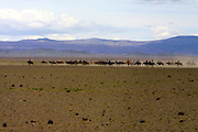 GOBI DESERT, MONGOLIA..08/26/2001.Bayangovi. Local Naadam festival. Riders approaching the start of a horse race over 30 kilometers..(Photo by Heimo Aga).