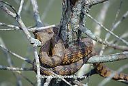 02845-00105 Diamondback Water Snake (Nerodia rhombifera) Barkhausen Wetlands Center, Cache River State Natural Area, IL