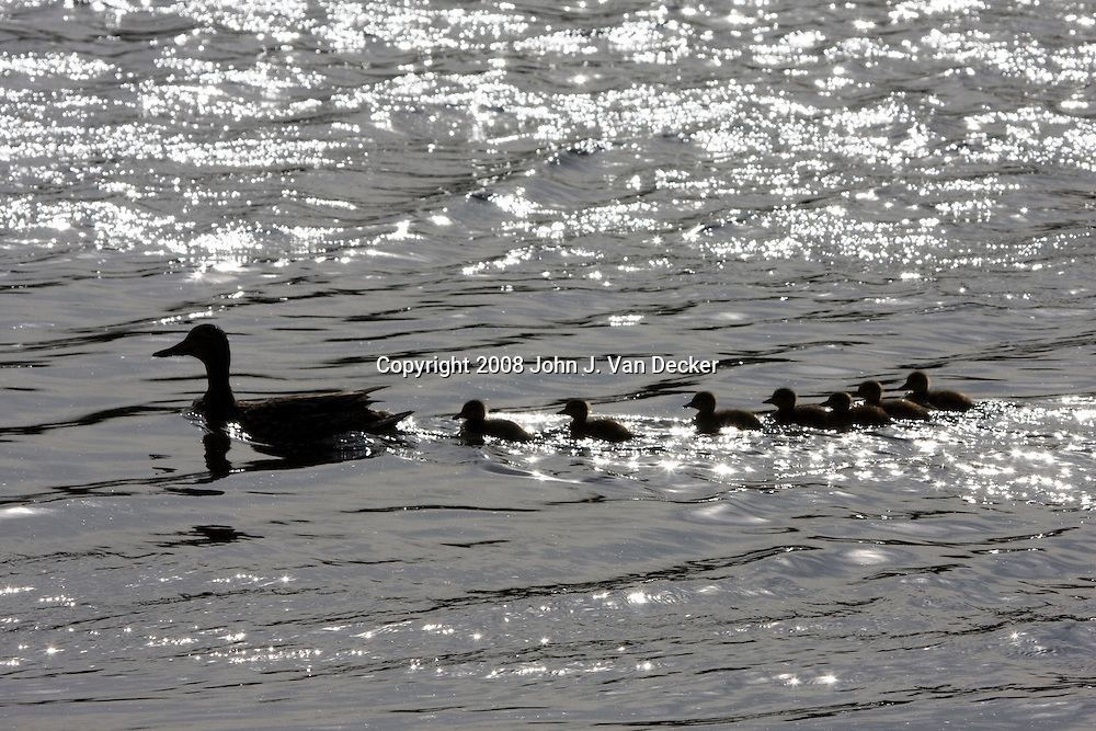Silhouette of mother duck and ducklings