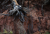 A tree, brush, and roots on the side of a eroding gully, Canyon Lands national Park, Utah, USA.