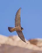 Peregrine falcon in fast banking flight along her eyrie cliff,  © 2011 David A. Ponton