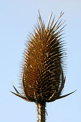 Teasel, dried weed close up