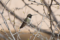 The black-chinned hummingbird is a common hummingbird at lower elevations in most of the American Southwest and parts of the Pacific Northwest, occasionally wintering near the Gulf of Mexico, but generally moving much further south along Mexico's Pacific Coast for the colder months of the year. This male photographed near La Joya, New Mexico - if seen in the right position in the sunlight reflects bright iridescent feathers with an electric magenta throat!