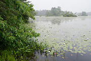 Rainy day the Harold Parker State Forest in North Andover, MA. The American Lotus, Pickerelweed were happy.