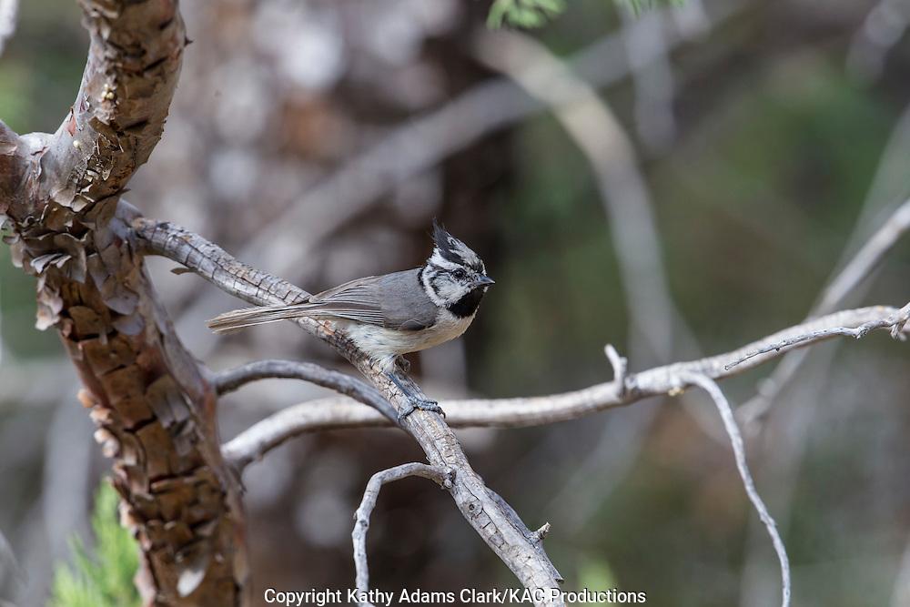 Bridled titmouse; Arizona; Baeolophus wollweberi; Sonoran Desert; Southern; Summer