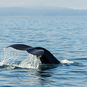 Humpback whale showing his flukes, in Monterey Bay, California.