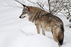 A wolf is standing in the snow in the wildlifepark of the Bavarian Forest.