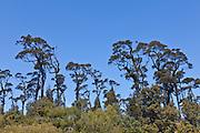 Kahikatea trees at West Coast, New Zealand