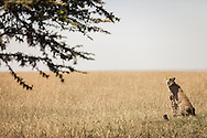 A cheetah in the Masai Mara National Reserve, Kenya, Africa