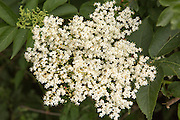 Close up of flowers of European elder tree, Sambucus nigra, Suffolk, England, UK