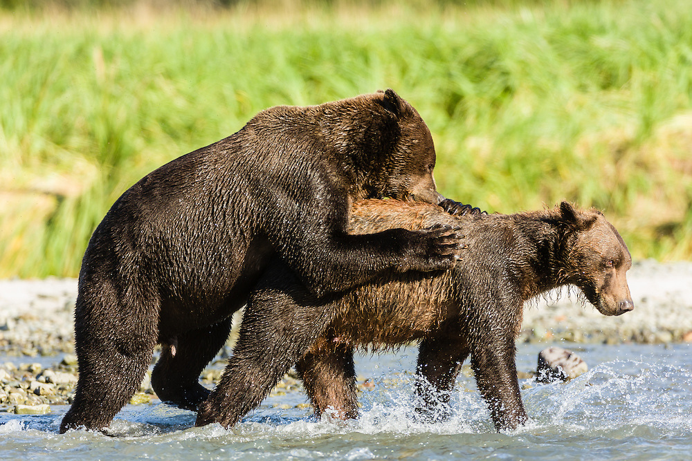 Male brown bears (Ursus arctos) wrestle for dominance to fish for salmon along Geographic Creek at Geographic Harbor in Katmai National Park in Southwestern Alaska. Summer. Afternoon.