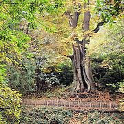 Nederland, Ubbergen, 3-11-2016 Prachtige herfstdagen. Wandelen over de Elysese velden en bij de oude kabouterboom in Beek . Oude,grote,boom,kastanje,kastanjeboom . De sprookjesachtige Kabouterboom wordt algemeen aangezien als de dikste boom van Nederland. Het is een tamme kastanje .FOTO: FLIP FRANSSEN