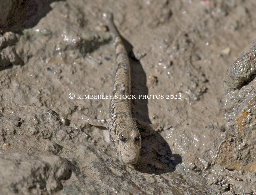 The jewelled eyes of a Kimberley mudskipper.