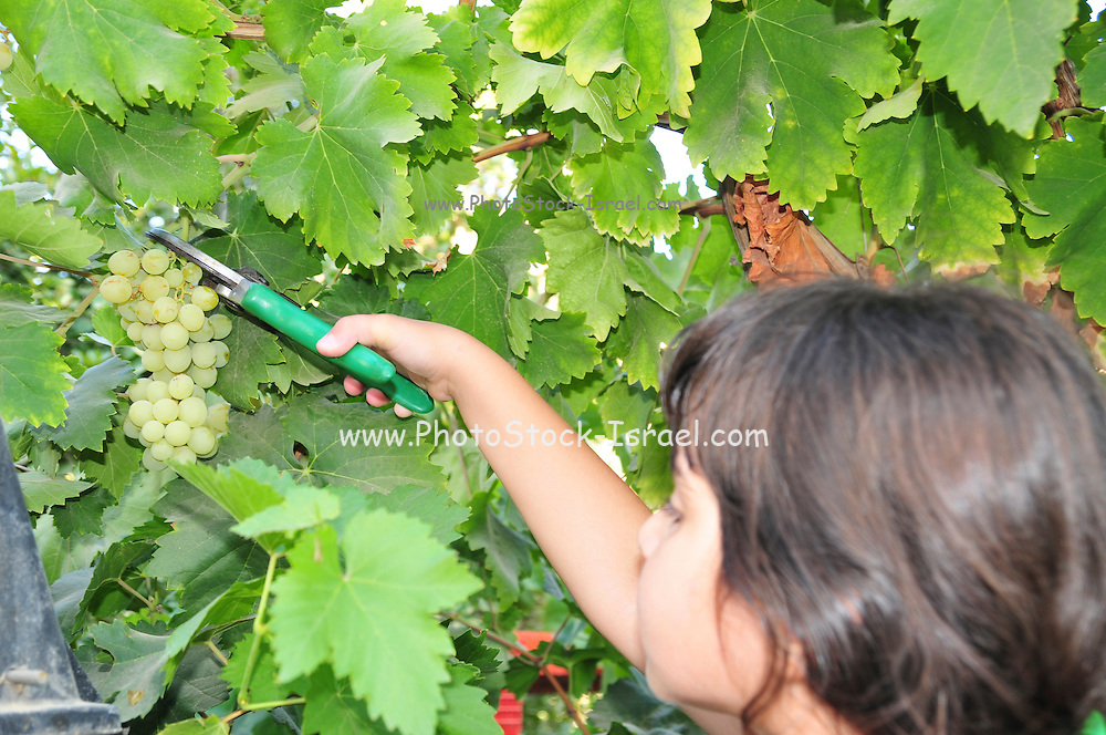Girl of 6 picks grapes from a grapevine - Model release available