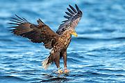 White-tailed eagle diving for a fish   Havørn stuper etter fisk.