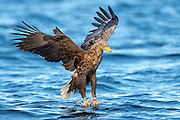 White-tailed eagle diving for a fish | Havørn stuper etter fisk.