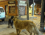 Street dogs roam the streets at night in Valparaiso in search of food.