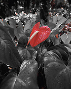 Anthurium, Hawaii
