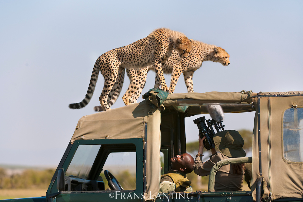 Cheetah juveniles (Supermom offspring), Acinonyx jubatus, on top of safari vehicle, Masai Mara National Reserve, Kenya