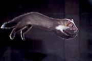 [captive] Beech marten (Martes foina) | Steinmarder, Stein-Marder, Marder, Jungtier