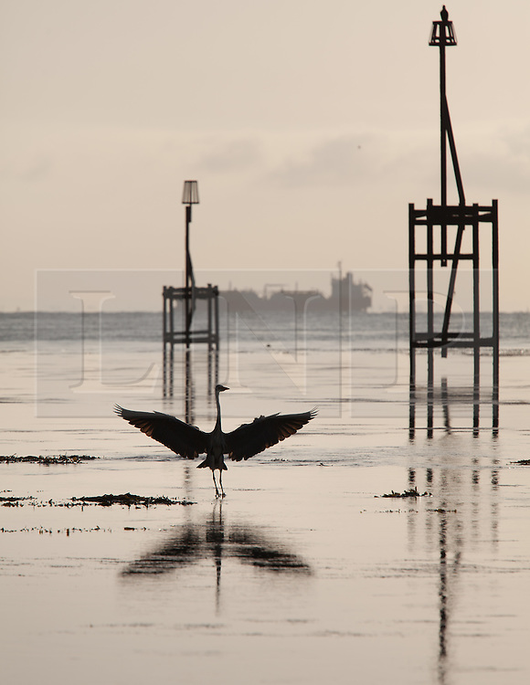 © Licensed to London News Pictures. 22/05/2015. Bembridge, UK. A Grey Heron hunting for fish in the calm waters of Bembridge Ledge at Lane End beach in Bembridge on the Isle of Wight this morning, Friday 22nd May 2015. The Bank Holiday weekend is set to be warm with sunny spells in the South of England. Photo credit : Rob Arnold/LNP