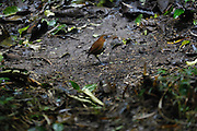 Ecuador, May 23 2010: White-bellied Antpitta (Grallaria hypoleuca castenea). Images from Cabanas San Isidro. Copyright 2010 Peter Horrell